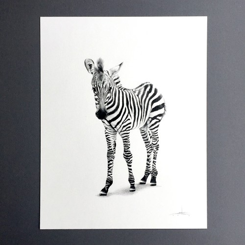 Zebra-drawing-Julie-Kraulis